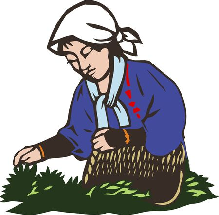 tea plantation: Tea picking