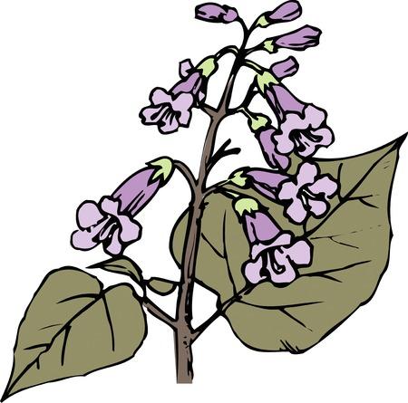 tomentosa: Paulownia tomentosa