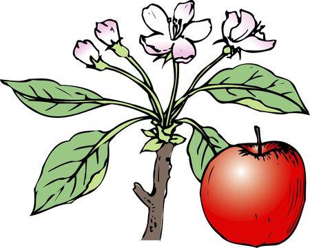 apple blossom: Apple blossom Stock Photo