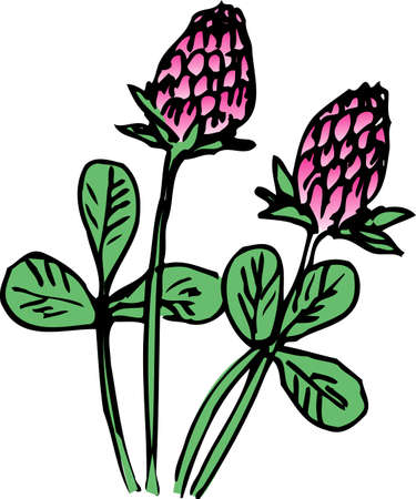 red clover: Red clover Stock Photo