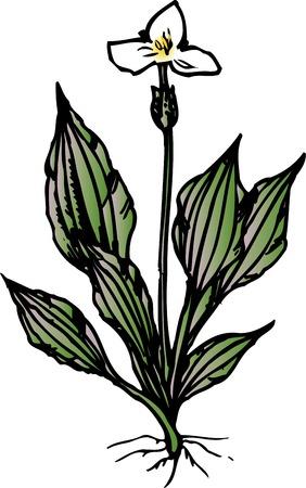 waterweed: Mizuoobako Stock Photo
