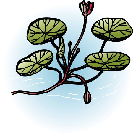 waterweed: Water shield