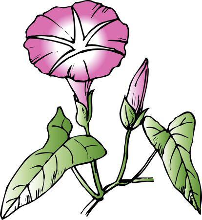 bindweed: Bindweed Stock Photo