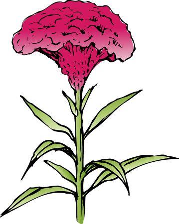 cockscomb: Celosia