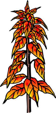 amaranthus: Amaranthus tricolor