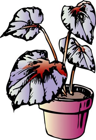 rex: Begonia Rex Stock Photo
