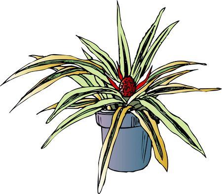 variegated: Variegated pineapple