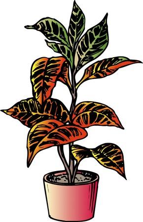 flowerpots: Croton