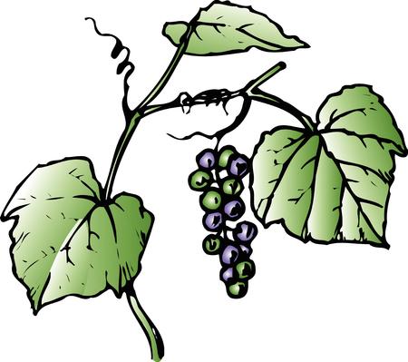 vitis: Vitis Coignetiae