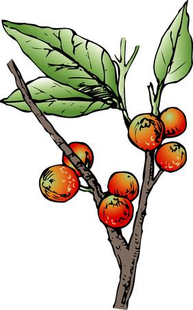 ficus: Ficus