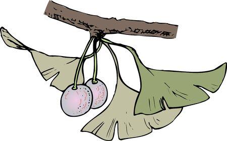 ginkgo: Ginkgo biloba Stock Photo