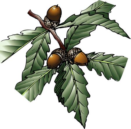 quercus: Quercus mongolica var. grosseserrata