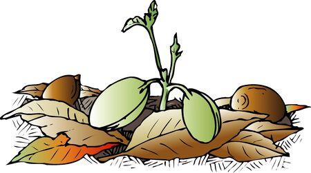germinaci�n: La germinaci�n de las bellotas Foto de archivo