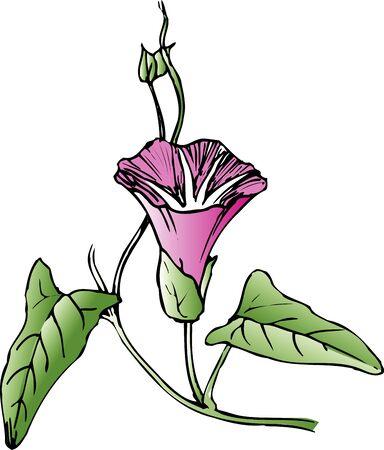 belle: Bindweed Stock Photo