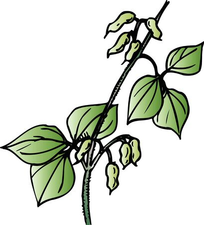 volubilis: Rhynchosia Volubilis