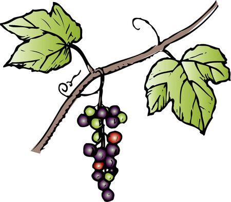 vitis: Vitis ficifolia Stock Photo