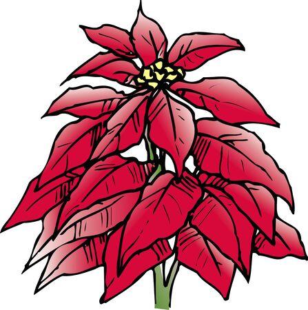 poinsettia: Poinsettia Stock Photo