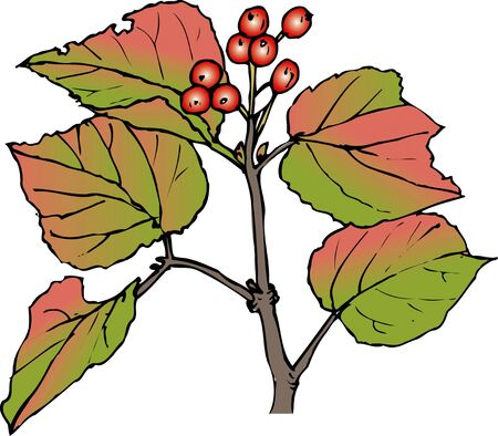 viburnum: Viburnum Stock Photo