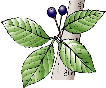 cherry wood: Prunus jamasakura