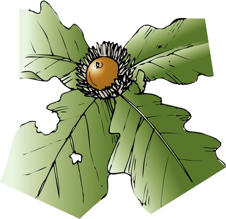 daimyo: Daimyo oak Stock Photo