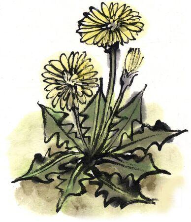 ink and wash: Dandelion