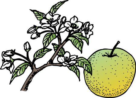 twentieth: Twentieth century pear