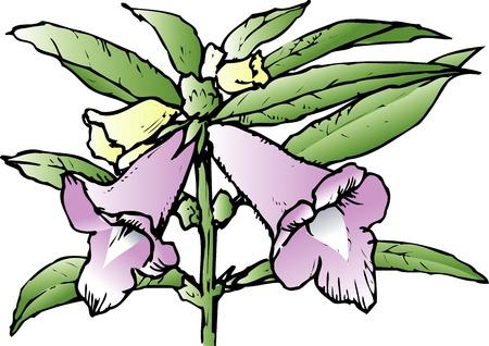 ajonjol�: Flor de s�samo Foto de archivo