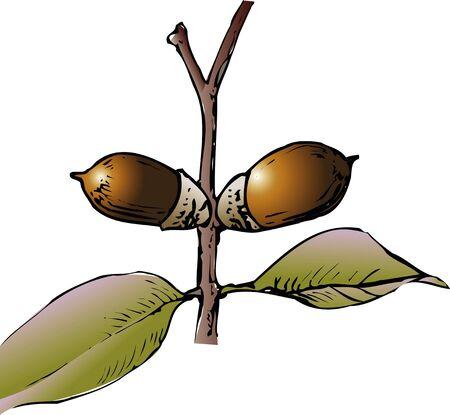 quercus: Quercus phillyraeoides