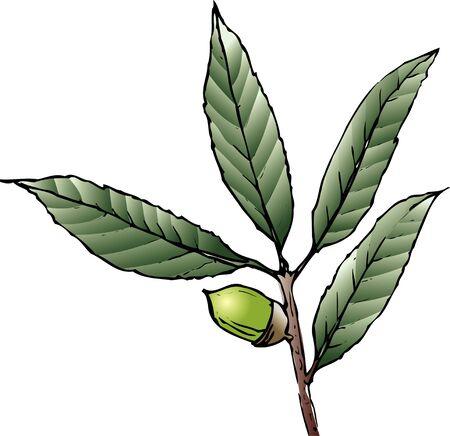 quercus: Quercus salicina