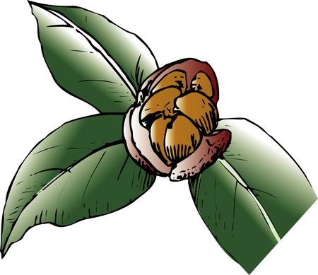 camellia: Camellia japonica Stock Photo