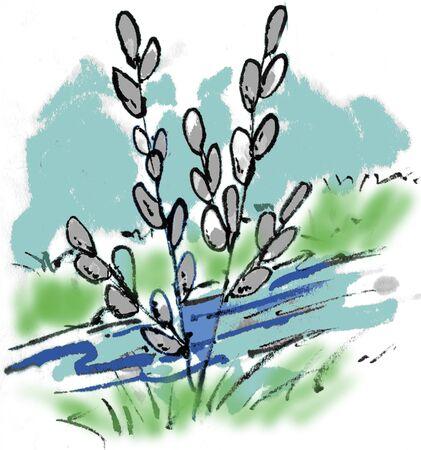 pussy willow: Salix gracilistyla