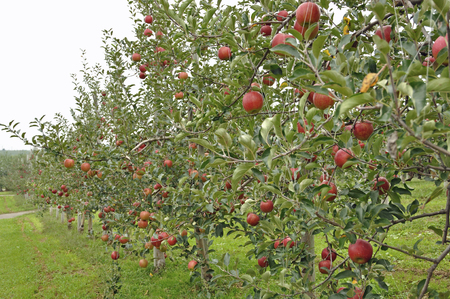 히로사키, 히로사키 사과 공원의 사과 과수원 스톡 콘텐츠