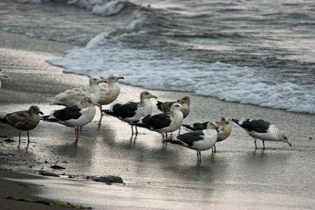 frigid: Frigid esashi-black-tailed gull