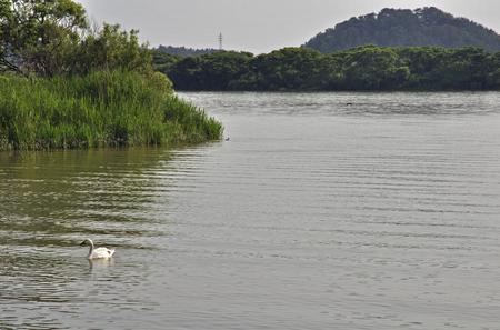 early summer: Early summer of Sakata, Mogami swan flying land Stock Photo