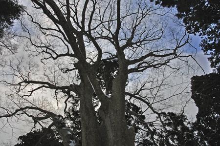 severe: Large zelkova of severe winter of Matsumae-Matsumae lord Matsumae family tomb Matsumae