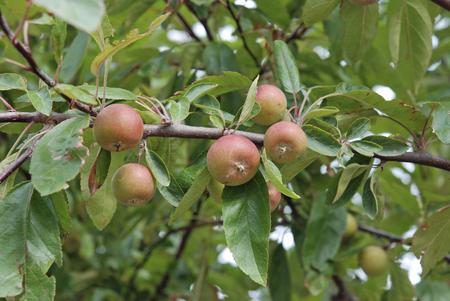 rosaceae: Trees Indian Magic Rosaceae