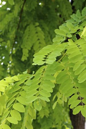 legume: Trees, lobby near free Shea legume