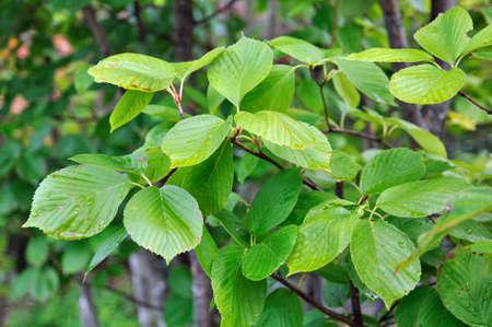 Trees, Sorbus alnifolia Rosaceae