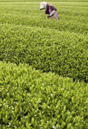 a bud  a sprout  a shoot: People that the tea picking between ridges Stock Photo