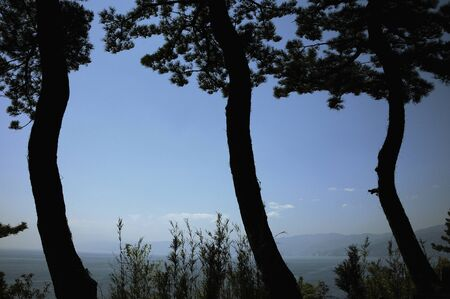 pine three: Three of pine to show Shuruetto sky and sea in the background Stock Photo