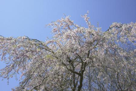 gora: Weeping cherry tree of Hakone Gora park exit to blue sky
