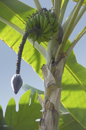 熱帯植物のバナナの木と現実の博物館