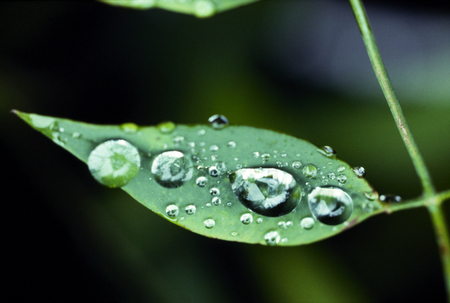 pooled: Leaf of full pooled weeds the morning dew