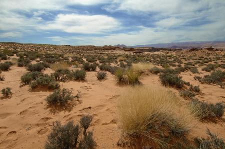 desert vegetation: Vegetation of the desert