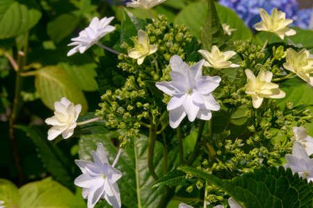 pale: White and pale yellow fireworks - Hydrangea flowers