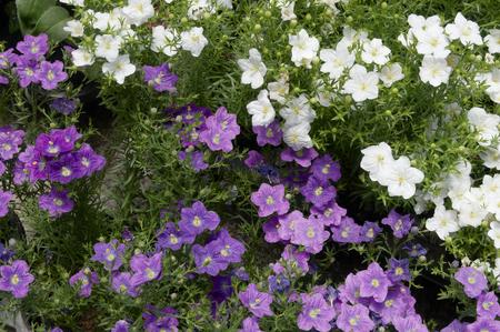 point and shoot: Flowers of Nylen-Berukia purple and white Stock Photo