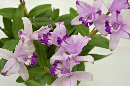 cattleya: Small size of Cattleya flowers Stock Photo