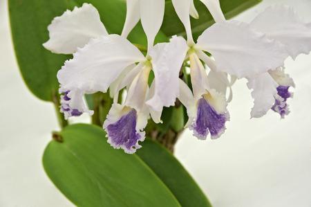 keynote: Purple on white to keynote cattleya