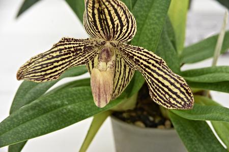plants species: Orchidee con una striscia di giallo e marrone