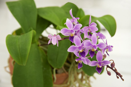 phal: Pink cute orchids